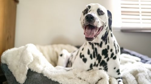 dalmation dog happy in dog bed. is it ok to move a dog bed around.