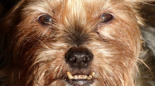 safe for old dogs to have teeth cleaned