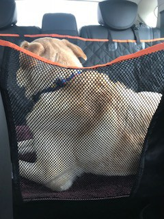 image shows my dog in his dog hammock in the back seat.