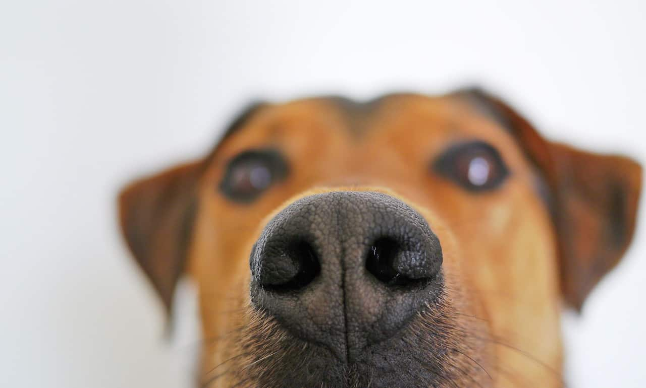 image shows dogs rough nose and suggests use of snout soother or vitamin e to relieve the dog's chapped nose