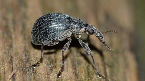 Do ticks have wings. The poplar weevil has wings and is often mistaken for a tick.  They look extremely similar.