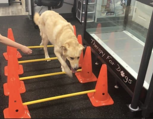 dog with mobility issues getting physical therapy for injury